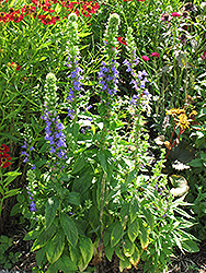 Blue Cardinal Flower (Lobelia siphilitica) at Valley View Farms
