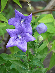 Balloon Flower (Platycodon grandiflorus) at Valley View Farms