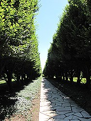 Pyramidal European Hornbeam (Carpinus betulus 'Fastigiata') at Valley View Farms