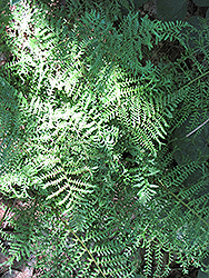 Male Fern (Dryopteris filix-mas) at Valley View Farms