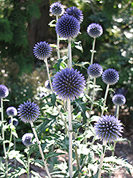 Veitch's Blue Globe Thistle (Echinops ritro 'Veitch's Blue') at Valley View Farms