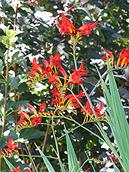 Lucifer Crocosmia (Crocosmia 'Lucifer') at Valley View Farms