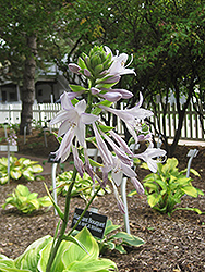 Fragrant Bouquet Hosta (Hosta 'Fragrant Bouquet') at Valley View Farms