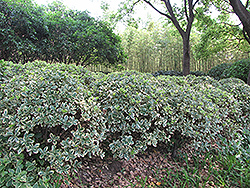 Silver King Euonymus (Euonymus japonicus 'Silver King') at Valley View Farms