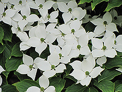 Chinese Dogwood (Cornus kousa 'var. chinensis') at Valley View Farms