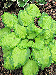 Stained Glass Hosta (Hosta 'Stained Glass') at Valley View Farms