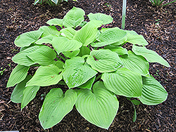 August Moon Hosta (Hosta 'August Moon') at Valley View Farms
