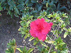 Bloom-A-Thon® Red Azalea (Rhododendron 'RLH1-1P2') at Valley View Farms