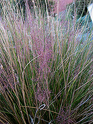 Pink Muhly Grass (Muhlenbergia capillaris 'Pink Muhly') at Valley View Farms
