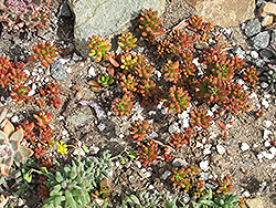 Jelly Bean Plant (Sedum rubrotinctum) at Valley View Farms