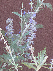 Blue Spire Russian Sage (Perovskia 'Blue Spire') at Valley View Farms
