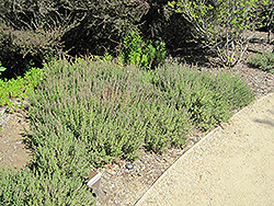 Creeping Germander (Teucrium chamaedrys) at Valley View Farms