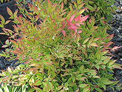 Moon Bay Dwarf Nandina (Nandina domestica 'Moon Bay') at Valley View Farms