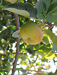 Fuyu Japanese Persimmon (Diospyros kaki 'Fuyu') at Valley View Farms