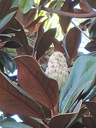 Teddy Bear® Magnolia (Magnolia grandiflora 'Southern Charm') at Valley View Farms