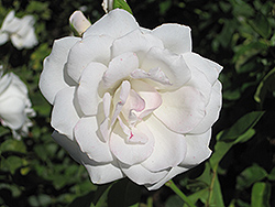 Iceberg Rose (Rosa 'Iceberg') at Valley View Farms