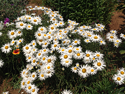 Crazy Daisy Shasta Daisy (Leucanthemum x superbum 'Crazy Daisy') at Valley View Farms