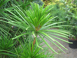 Joe Kozey Umbrella Pine (Sciadopitys verticillata 'Joe Kozey') at Valley View Farms