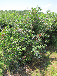Coville Blueberry (Vaccinium corymbosum 'Coville') at Valley View Farms
