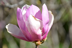 Jane Magnolia (Magnolia 'Jane') at Valley View Farms