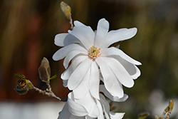 Star Magnolia (Magnolia stellata) at Valley View Farms