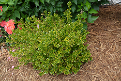 Wedding Ring® Boxwood (Buxus microphylla 'Eseles') at Valley View Farms