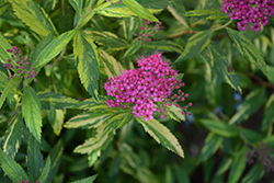 Double Play® Painted Lady® Spirea (Spiraea japonica 'Minspi') at Valley View Farms