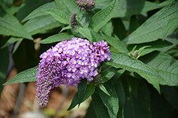 Pugster® Amethyst Butterfly Bush (Buddleia 'SMNBDL') at Valley View Farms