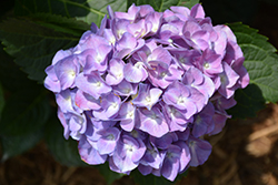 Cityline® Berlin Hydrangea (Hydrangea macrophylla 'Berlin Rabe') at Valley View Farms