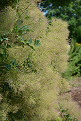Young Lady Smokebush (Cotinus coggygria 'Young Lady') at Valley View Farms