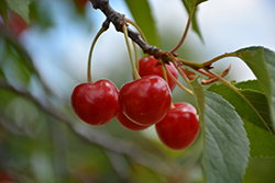 Montmorency Cherry (Prunus 'Montmorency') at Valley View Farms