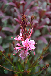 Passionate Rainbow Gaura (Gaura lindheimeri 'Passionate Rainbow') at Valley View Farms