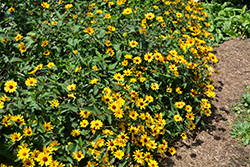 Summer Nights False Sunflower (Heliopsis helianthoides 'Summer Nights') at Valley View Farms