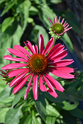 Kismet® Raspberry Coneflower (Echinacea 'TNECHKR') at Valley View Farms
