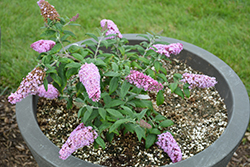 Pugster® Pink Butterfly Bush (Buddleia 'SMNBDPT') at Valley View Farms