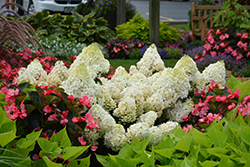 Little Lime® Hydrangea (Hydrangea paniculata 'Jane') at Valley View Farms
