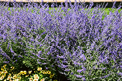 Crazy Blue Russian Sage (Perovskia atriplicifolia 'Crazy Blue') at Valley View Farms