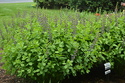 Indigo Spires False Indigo (Baptisia 'Indigo Spires') at Valley View Farms