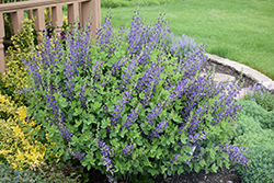 Decadence® Sparkling Sapphires False Indigo (Baptisia 'Sparkling Sapphires') at Valley View Farms