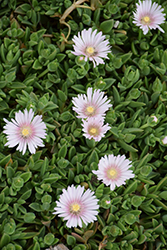 Lavender Ice Ice Plant (Delosperma 'Psfave') at Valley View Farms