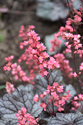 Timeless Treasure Coral Bells (Heuchera 'Timeless Treasure') at Valley View Farms