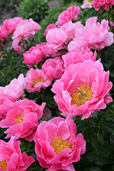 Paula Fay Peony (Paeonia 'Paula Fay') at Valley View Farms