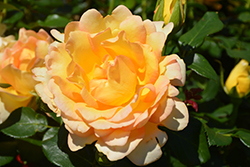 Gold Struck™ Rose (Rosa 'Gold Struck') at Valley View Farms