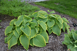 Victory Hosta (Hosta 'Victory') at Valley View Farms
