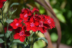 Rockin'™ Red Pinks (Dianthus 'PAS1141436') at Valley View Farms