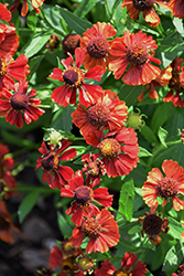 Mariachi™ Siesta Sneezeweed (Helenium autumnale 'Siesta') at Valley View Farms
