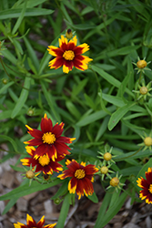 Big Bang™ Sun Splash Tickseed (Coreopsis 'Sun Splash') at Valley View Farms