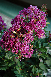 Purple Magic Crapemyrtle (Lagerstroemia 'Purple Magic') at Valley View Farms