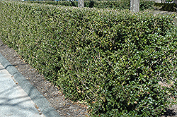 Gulftide False Holly (Osmanthus heterophyllus 'Gulftide') at Valley View Farms
