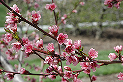Reliance Peach (Prunus persica 'Reliance') at Valley View Farms